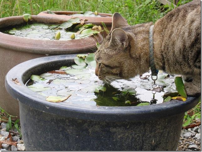 水を飲むねこちゃん