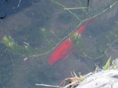金魚20cmくらいある