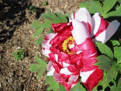 牡丹園にて牡丹の花